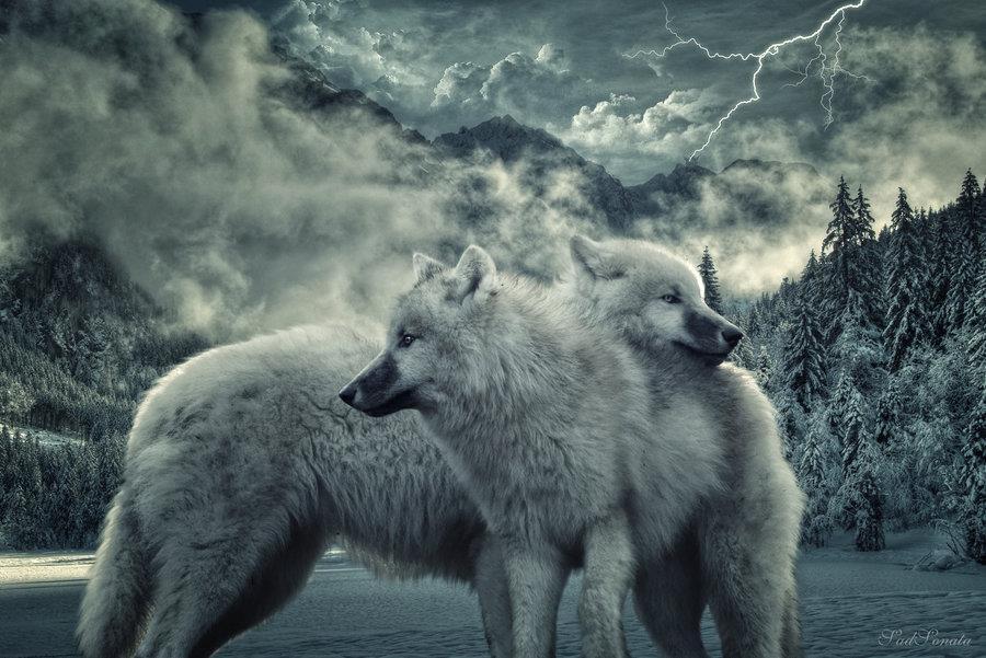 2 loups
